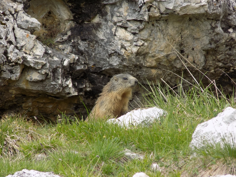 Marmot at the Sief Refugio